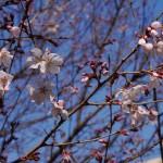 GF5で初めて撮影した桜 - 2013/03/15 18:26