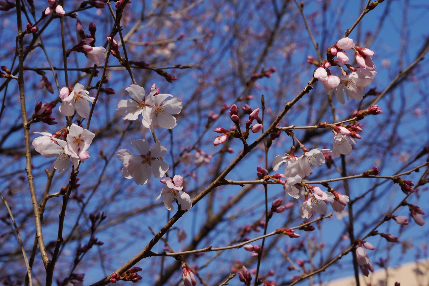 GF5で初めて撮影した桜