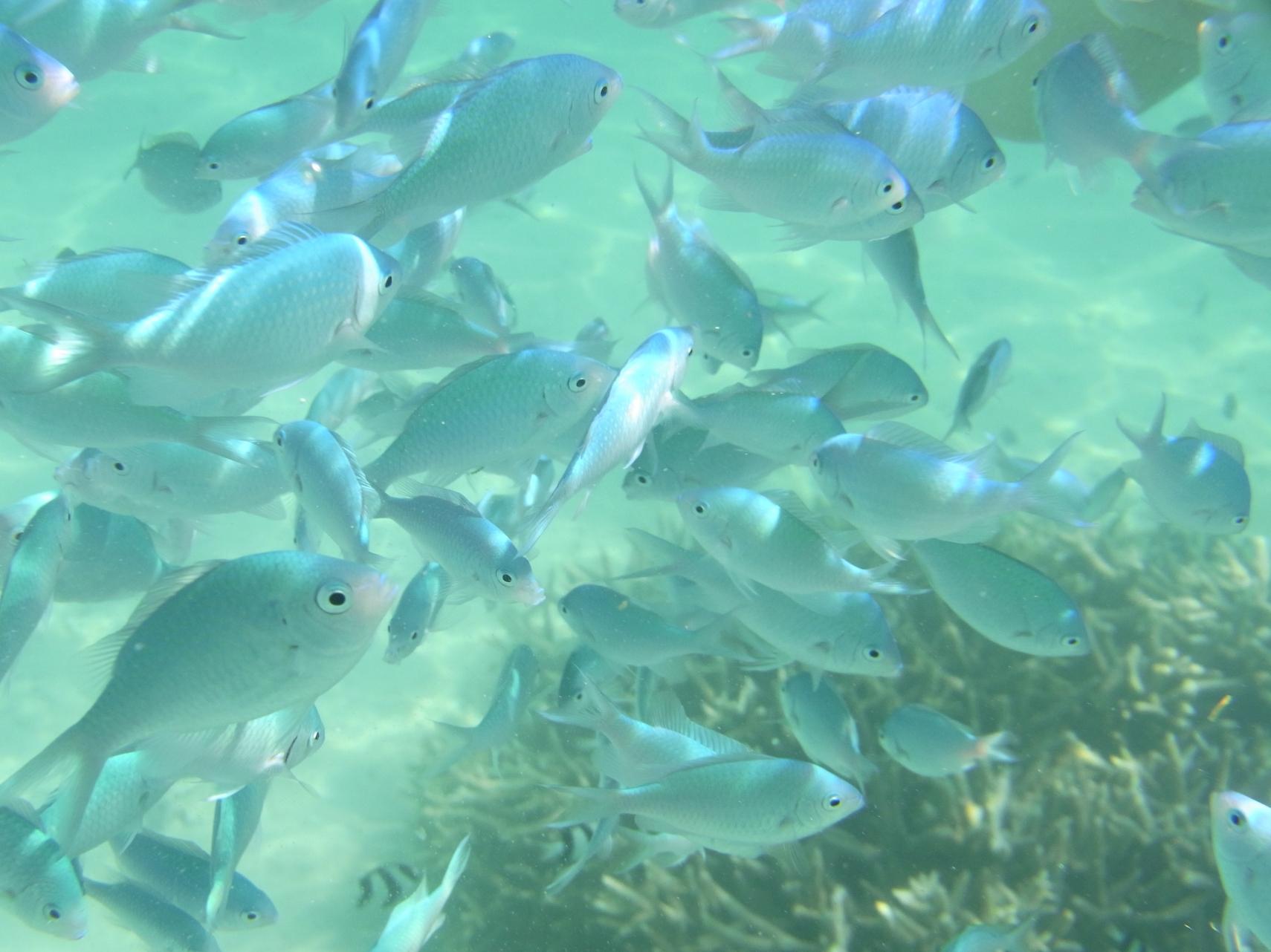 イパオビーチの魚は既に餌付けされていた