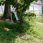 サイカチの木と猫 - 2015/09/19 13:12
