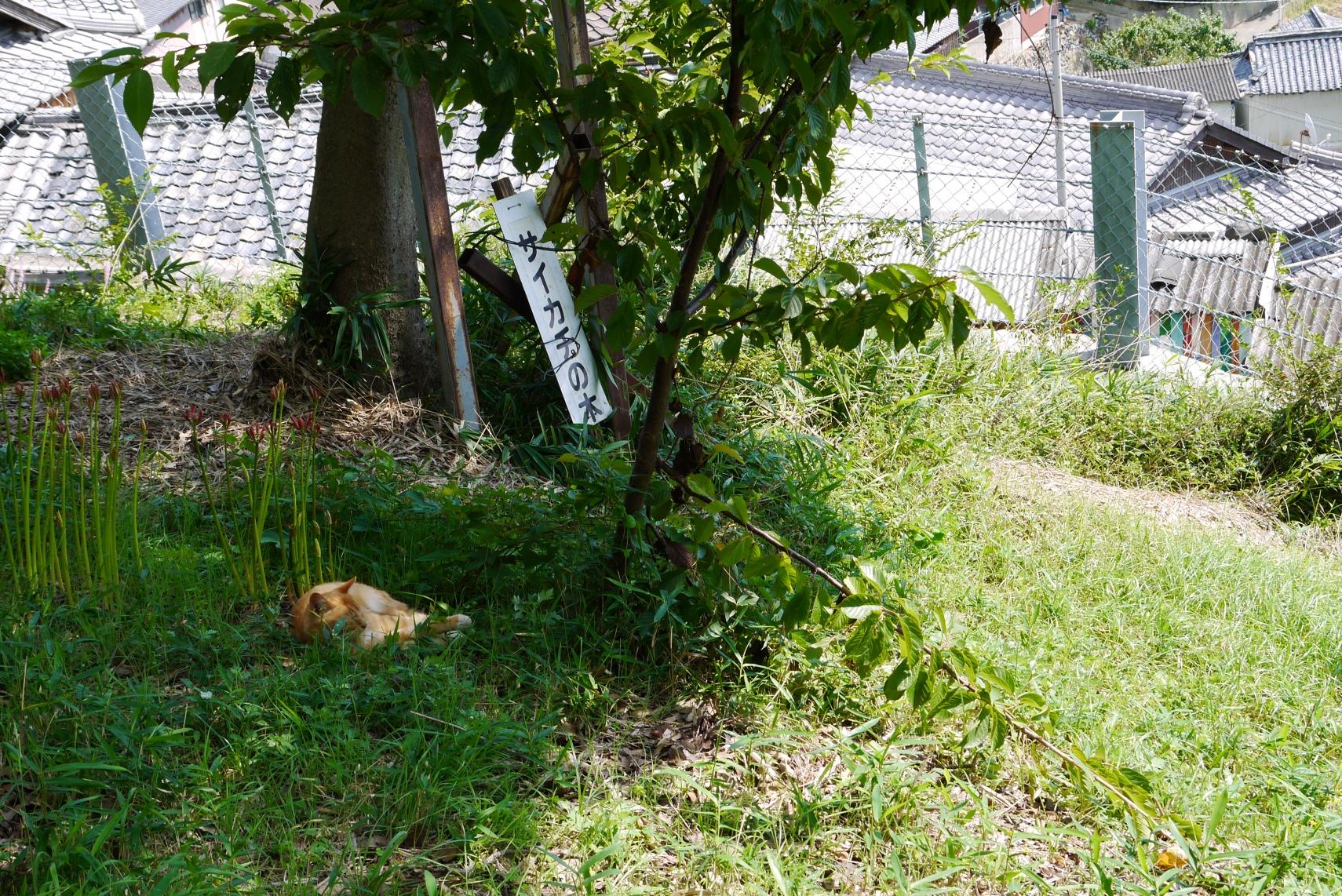 サイカチの木と猫
